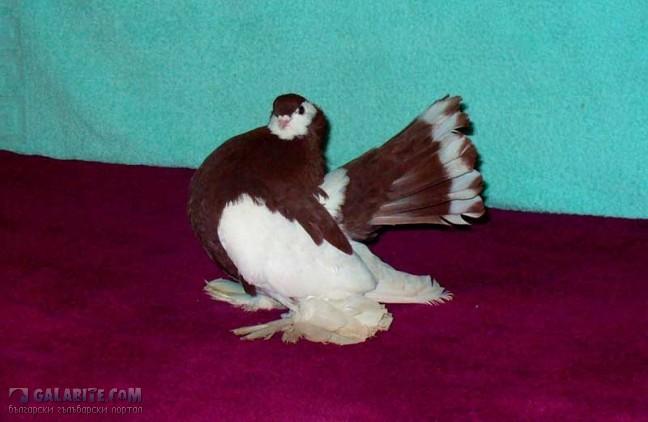 могут быть статные голуби урала фото шалевые снаружи хрустящие