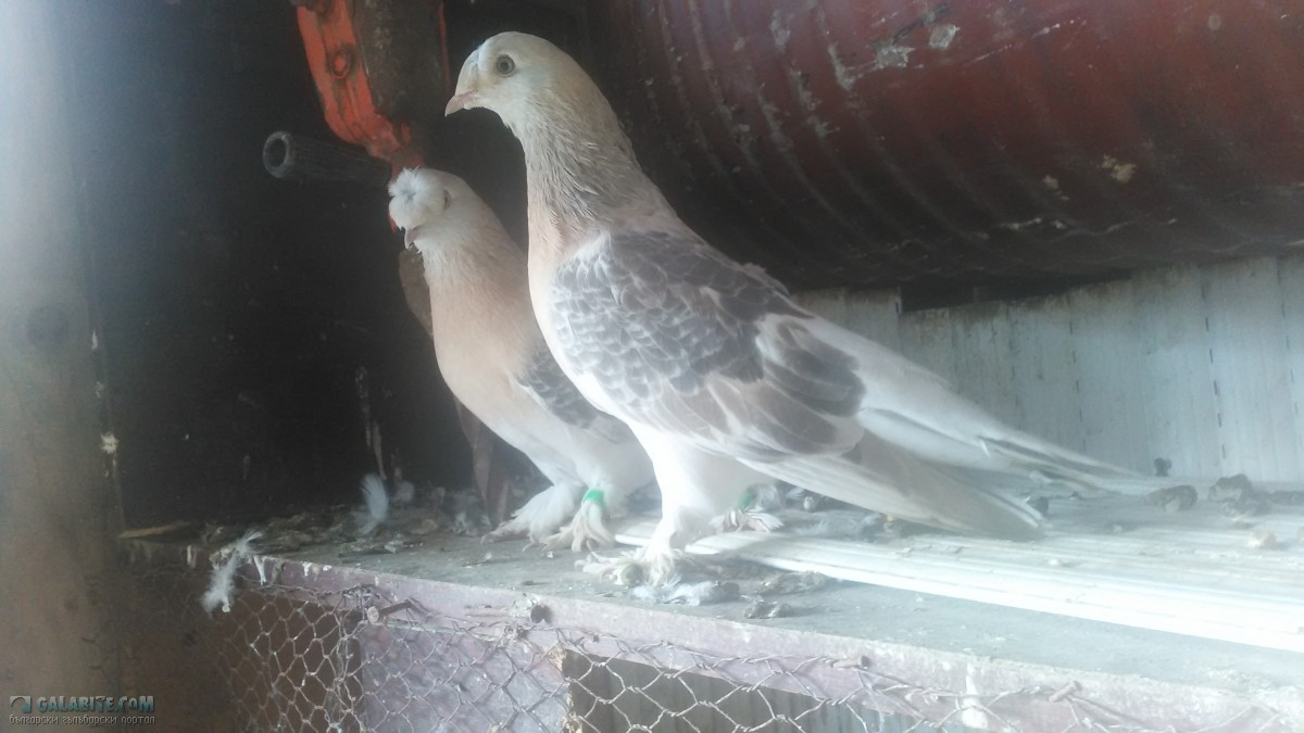 Гълъбите » Галерия » moite galabi :)
